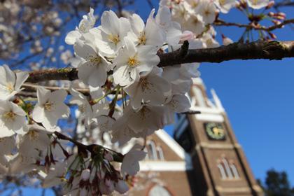 cherry-blossom-clock